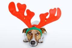 Dog as deer Royalty Free Stock Photo