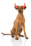 Dog as a devil Royalty Free Stock Image