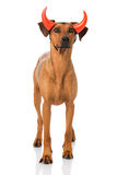 Dog as a devil Stock Images