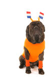 Dog as Dutch soccer supporter Stock Image