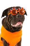 Dog as Dutch soccer supporter Stock Photo