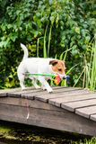 Dog as funny angler fetches toy fishing rod. Amusing dog as fisherman at wooden jetty stock photos