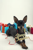 Dog as a gift on new year and Christmas Stock Photography