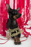Dog as a gift on new year and Christmas Royalty Free Stock Photos