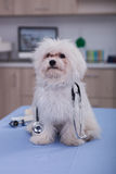 Dog as  medical veterinary doctor with stethoscope Stock Photos