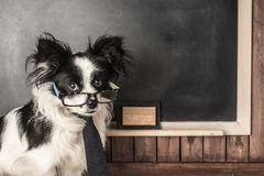 Dog as a school teacher with glasses and tie Royalty Free Stock Image
