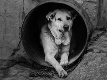 Dog as slave. Dog like slave in bad conditions Royalty Free Stock Images