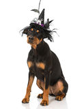 Dog as a witch Royalty Free Stock Images