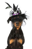 Dog as a witch Stock Photography