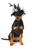 Dog as a witch Stock Images