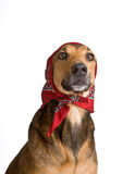 Dog as Wolf disguised as Little Red Riding Hood. Funny shot of dog as Little Red Riding Hood based on the famous fairy tale Royalty Free Stock Image