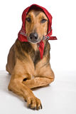 Dog as Wolf disguised as Little Red Riding Hood Royalty Free Stock Photo