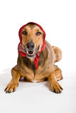 Dog as Wolf disguised as Little Red Riding Hood. Funny shot of dog as Little Red Riding Hood based on the famous fairy tale Stock Images