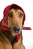 Dog as Wolf disguised as Little Red Riding Hood Stock Photo