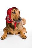 Dog as Wolf disguised as Little Red Riding Hood Royalty Free Stock Images