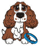 Dog ask to walk. Brown spaniel sit with blue collar and ask to walk Royalty Free Stock Photos