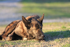 Dog asleep in grass Stock Photography