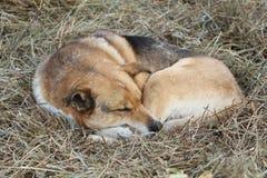 The dog asleep on the hay Stock Photos