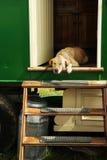 Dog asleep in the sun. A golden labrador sleeping in the doorway of a gypsy caravan stock photography