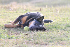 Dog asleep with tennis ball Royalty Free Stock Images
