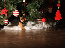 Dog ate all presents under New Year tree. Small dog licks her mouth and nose Royalty Free Stock Photo