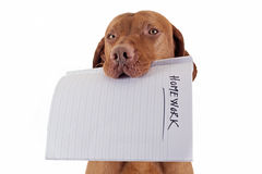 The dog ate my homework. Dog holding homework in mouth on white background royalty free stock photography