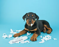The Dog Ate My Homework!!!. Funny Rottweiler puppy that looks like he is eating someone's homework on a blue background with copy space Stock Photo
