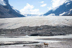 A dog in Athabasca Glacier in Icefield Parkway, Jasper National Stock Image