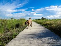 dog att gå på en bana i vildmarken av ett träsk Fotografering för Bildbyråer
