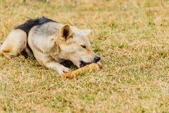 Dog att gnaga på ett ben i gräset Royaltyfri Foto