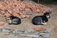Dog att ligga ner med vaket uttryck och annan hunden som contentedly sover royaltyfria foton