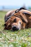 Dog att ligga som är lyckligt i gräset, med ett leende på dess framsida som sover Arkivbild