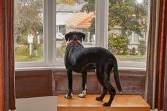 Dog att se ut ur fönstret som väntar fo hans ägare Arkivfoton