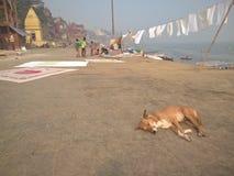 Dog att sova på ghaaten av Varanasi, Indien Royaltyfria Foton