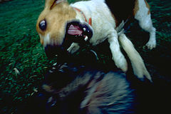 Dog attacking. Dogs playing royalty free stock photo