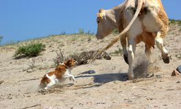 Dog attacks a cow. Angry dog attacks a cow stock images