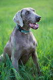 Dog attention. Sitting on grass Royalty Free Stock Images