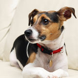 Dog, attentive. Jack Russell dog on a couch Stock Images