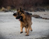 The dog Attila running and enjoying his dog life. royalty free stock photo