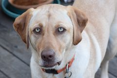 Dog with an Attitude. Close up of yellow Labrador retriever with unusual green eyes as she shows her attitude with an expression of impatience stock images