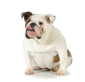 Dog with attitude royalty free stock images