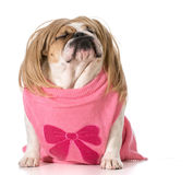 Dog with attitude. Female english bulldog wearing wig with funny expression royalty free stock images