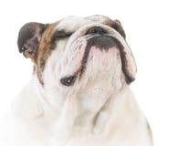 Dog with attitude Royalty Free Stock Photo