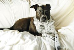 Mixed Breed Dog with Attitude Relaxing Royalty Free Stock Image