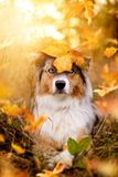 Dog, Australian Shepherd fall foliage with leaf on the head royalty free stock image