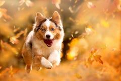 Dog, Australian Shepherd jumping in autumn leaves royalty free stock images