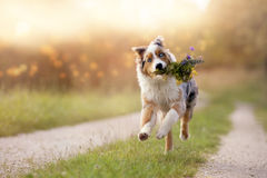 Dog, Australian Shepherd jumps with bouquet Royalty Free Stock Image
