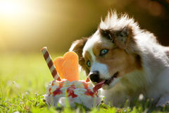 Dog, Australian Shepherd licking on an ice cream. In green meadow stock photography