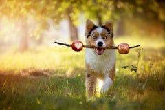 Dog, Australian Shepherd retrieves stick with skewered apples stock photos