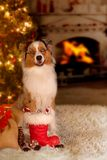 Dog; Australian Shepherd sitting in front of the Christmas tree stock photos